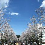 2017年4月 鎌倉段葛 桜並木の開花情報 レポート