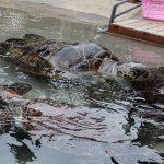 新江ノ島水族館|土日祝日のみ開催の「ウミガメにタッチ」レポート