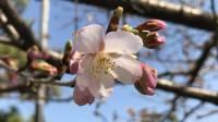 【開花状況】2019年 鎌倉|段葛の桜並木と駅前通りの桜の様子